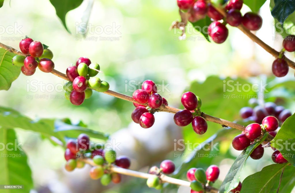 Coffee ripening on the tree stock photo