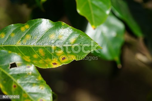 Coffee rust is infection which occur on the coffee leaves. The first observable symptoms are small, pale yellow spots on the upper surfaces of the leaves than they get orange but can be red too, depends of the region. later the centers of the spots get brown and dry while the margins of the lesions continue to expand.