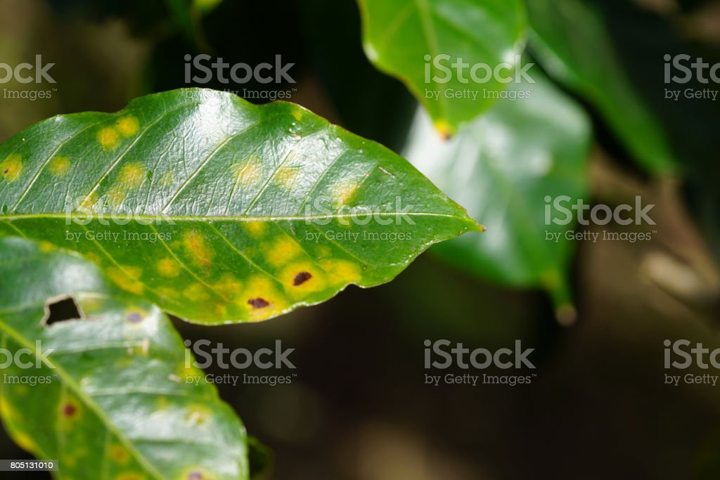 Coffee Rust the leaf disease of coffee plant stock photo