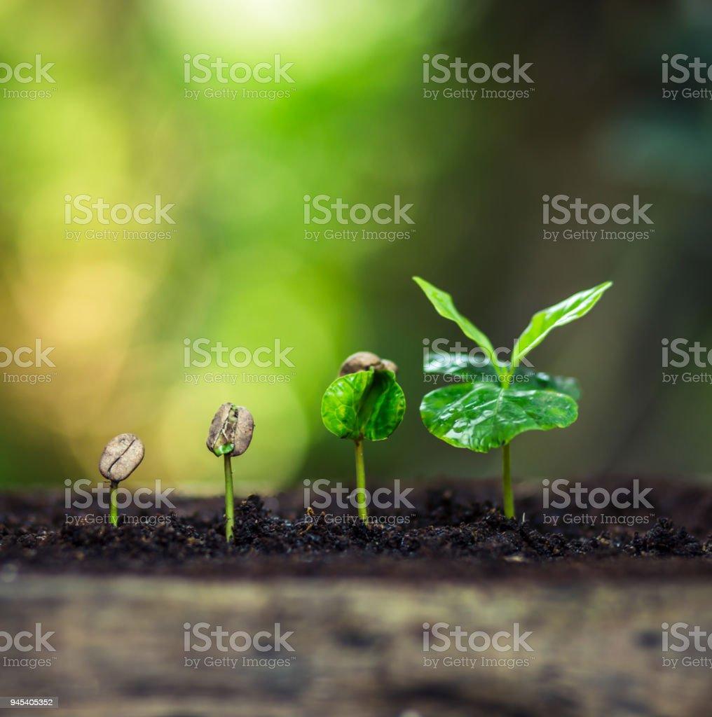 Kaffee Samen Baum Bäumchen in der Natur – Foto