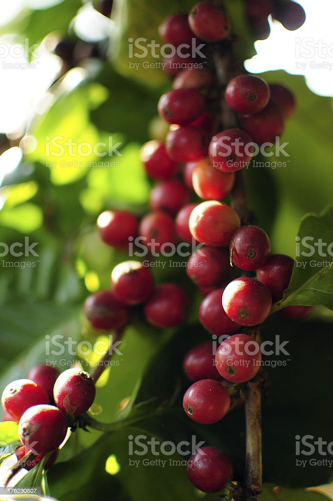 Coffee seeds from tree royalty-free stock photo