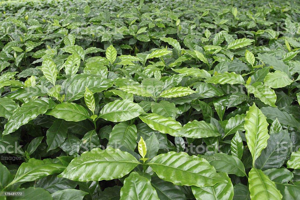 Coffee tree background stock photo