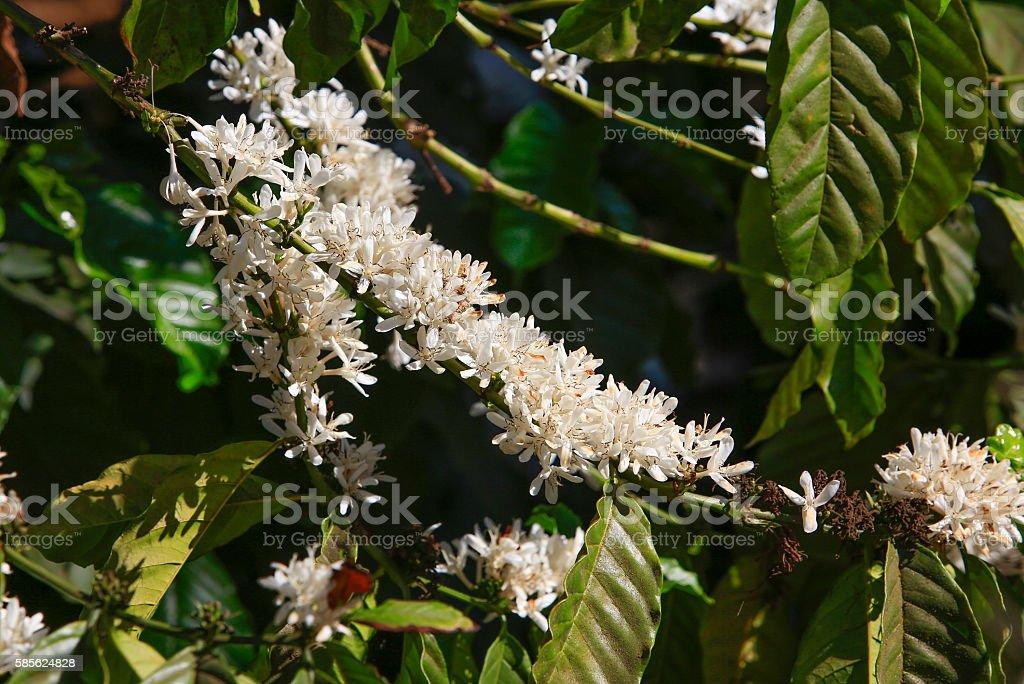 Kaffee Baum Blüte Mit Weißer Farbe Blumen - Stockfoto   iStock
