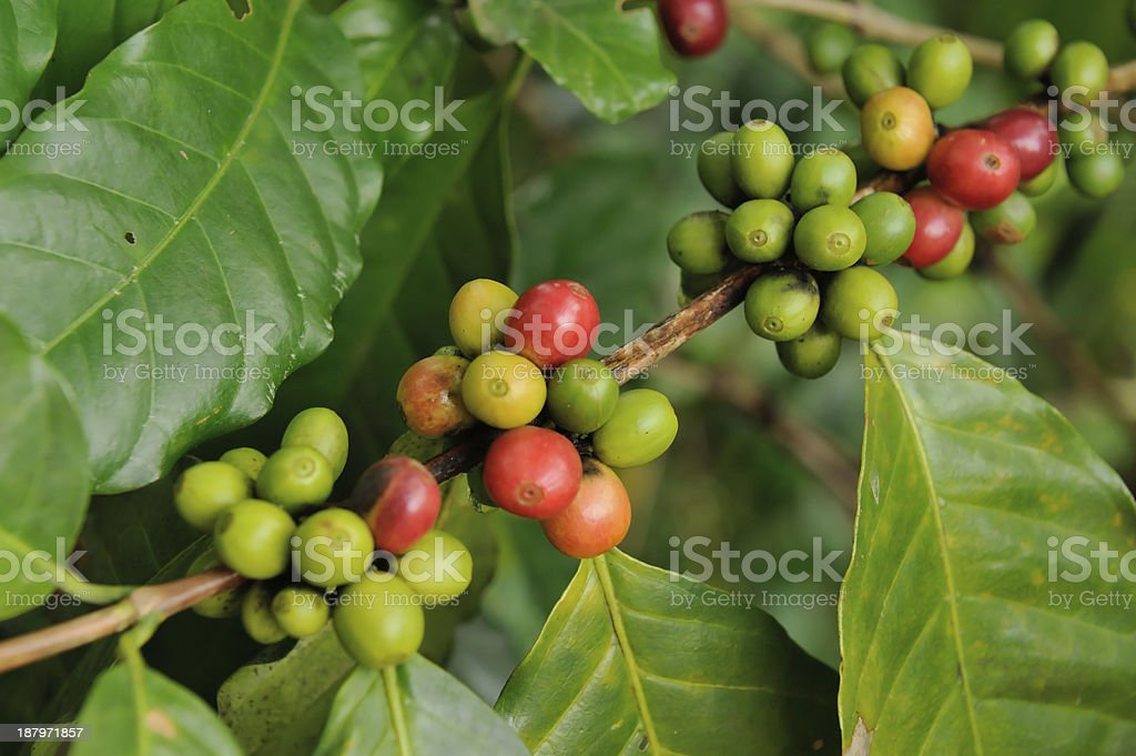 Coffee Tree Branches stock photo