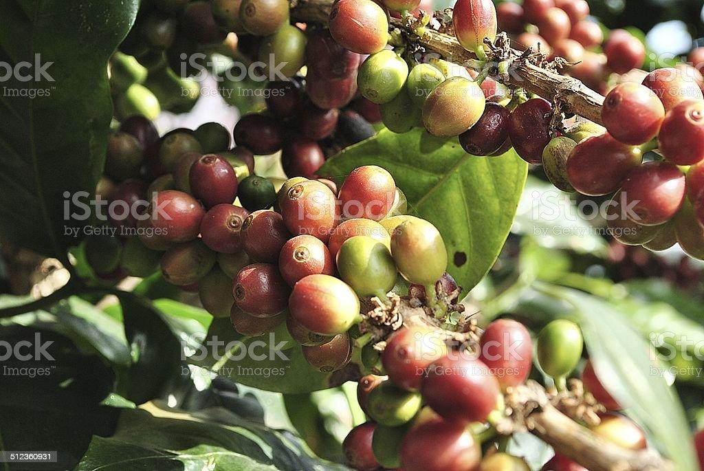 Coffee Tree Branches stock photo