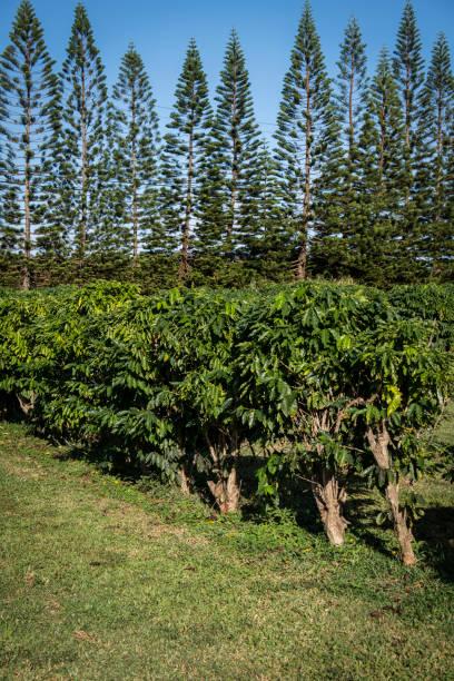 Coffee Tree Orchard on Kauai stock photo