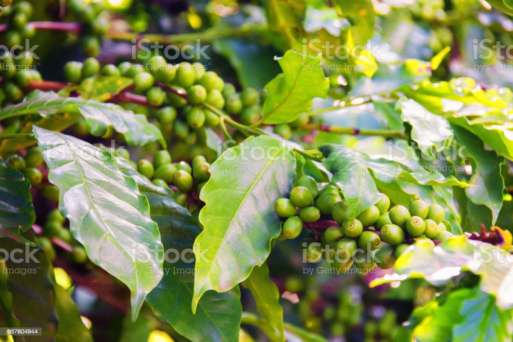 Coffee Tree With Green Coffee Beans Stock Photo Download Image