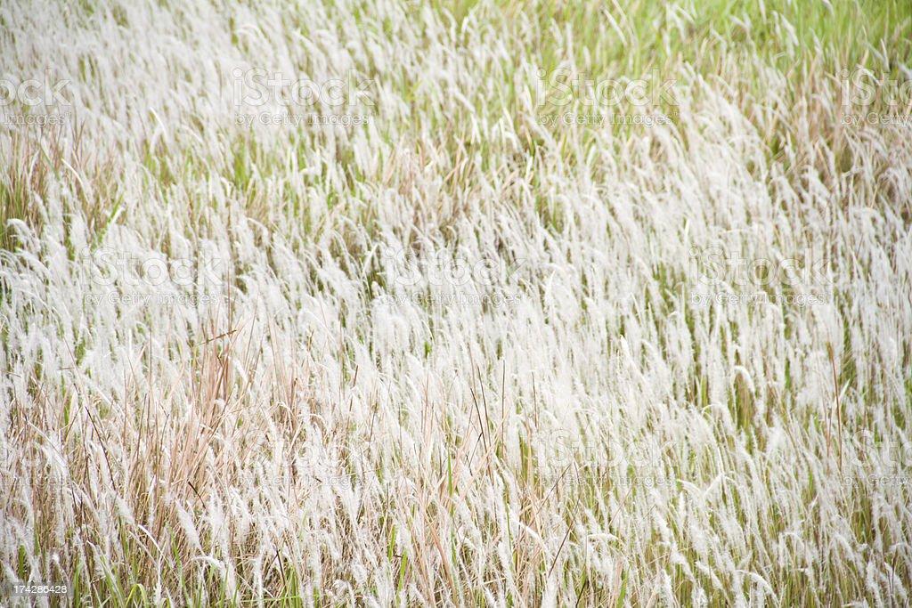 Cogon grass, Alang-alang, Lalang or  Imperata cylindrica royalty-free stock photo