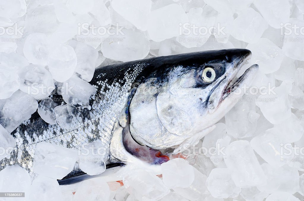 Coho Salmon on Ice royalty-free stock photo