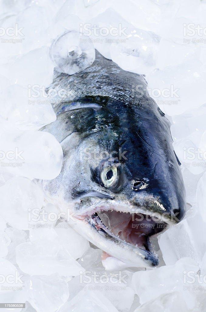 Coho Salmon on Ice royalty-free stock photo