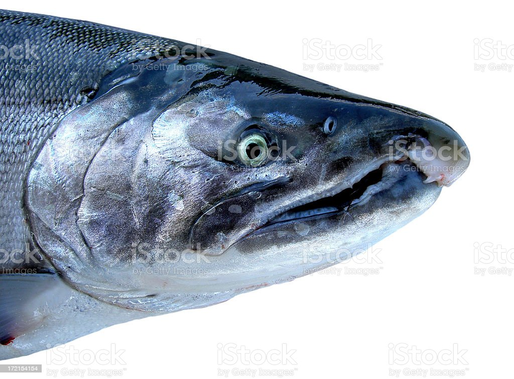 Coho Salmon royalty-free stock photo