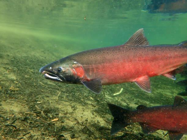 Coho - Silver Salmon stock photo