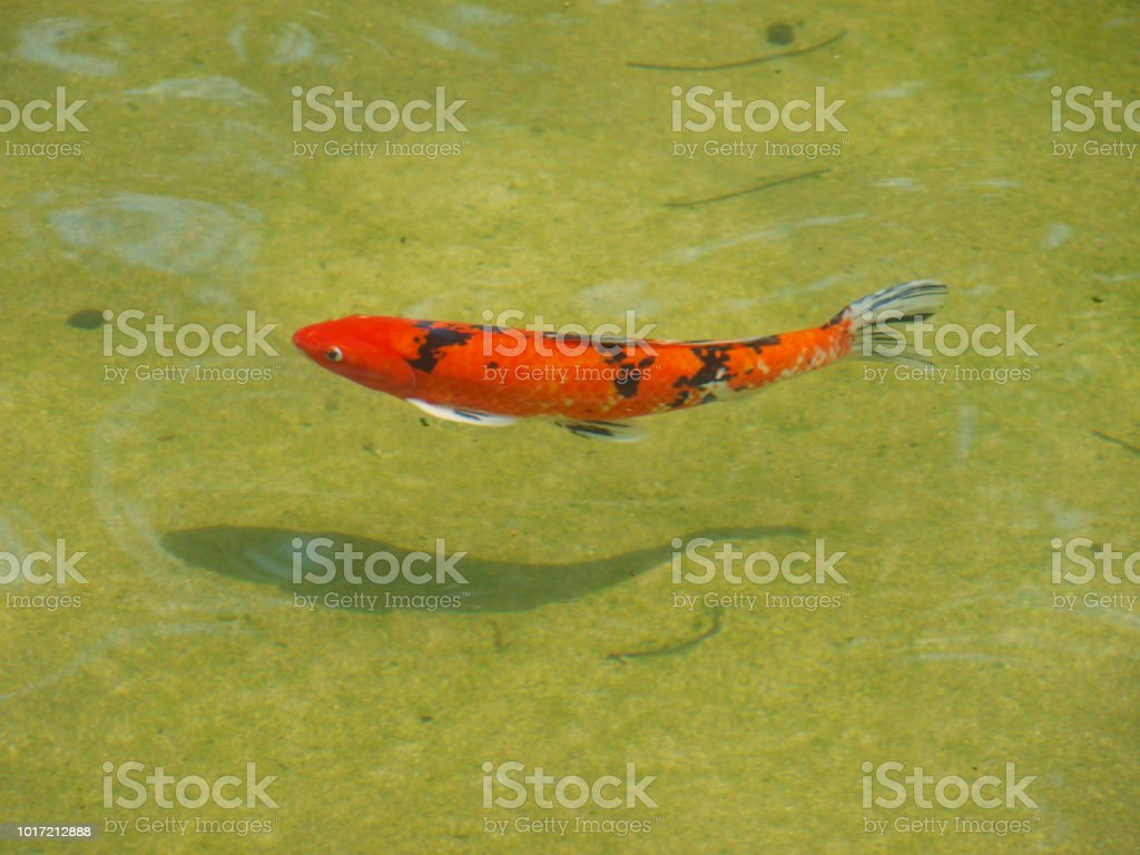 Coi Fish Swims In New Pond stock photo