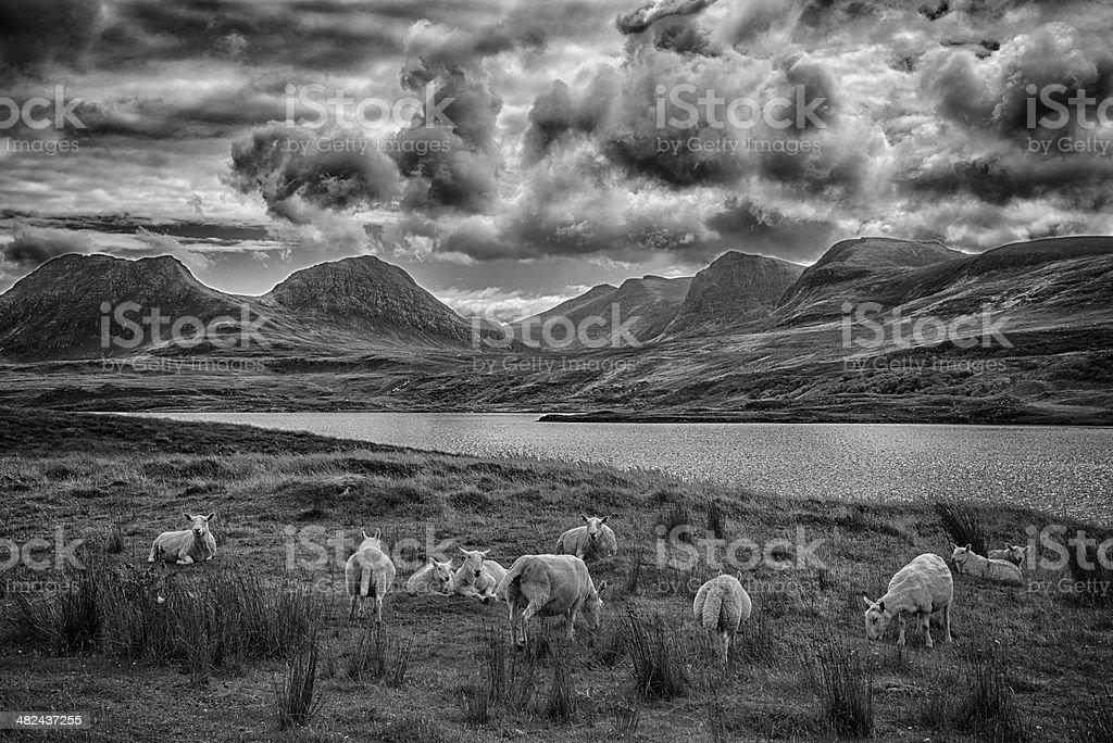 Coigach Sheep stock photo