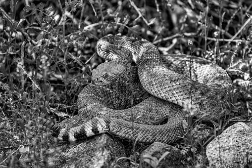 Rattlesnake coiled up in the brush