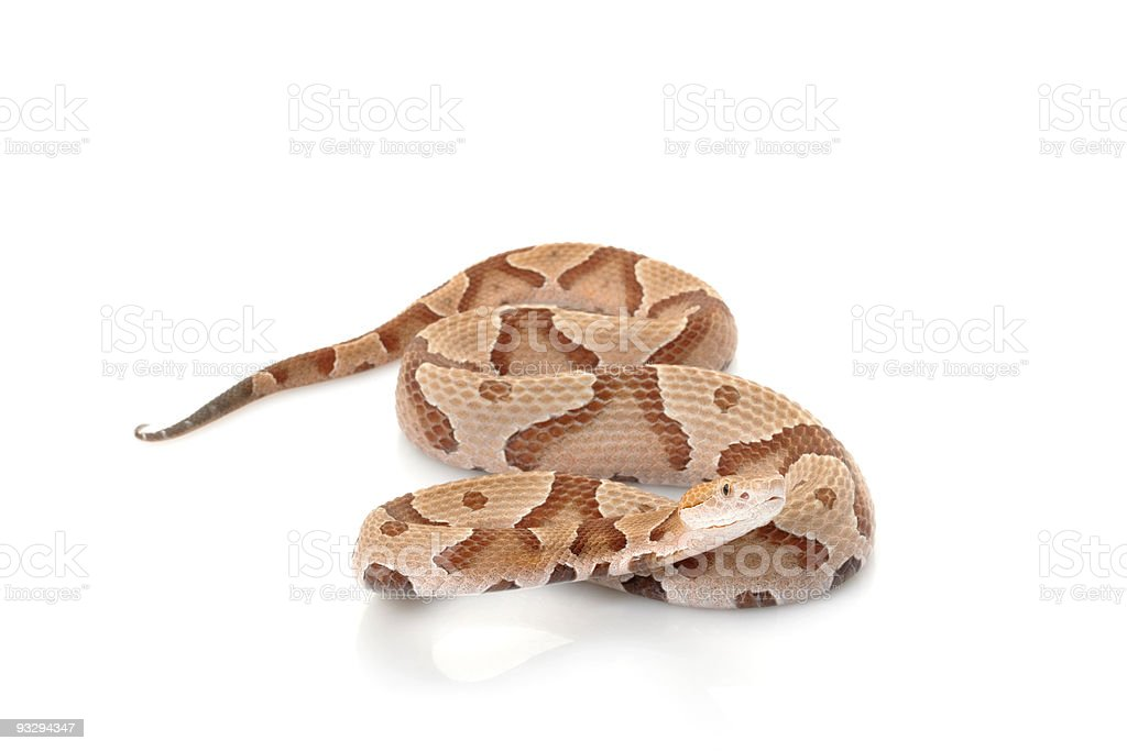 A coiled copperhead snake, poised to strike stock photo