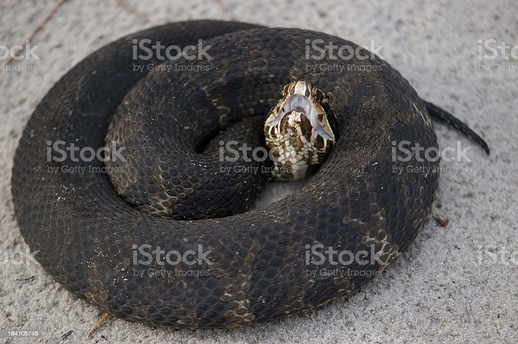 Coiled Cottonmouth stock photo