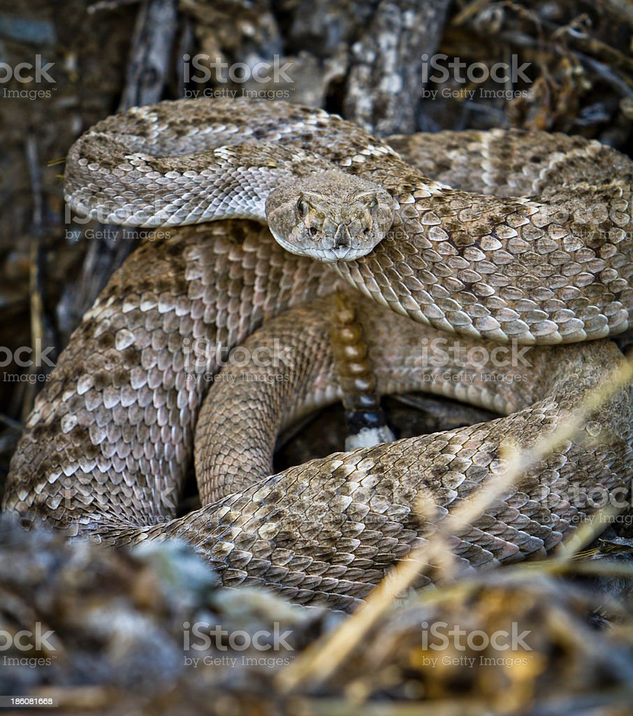 Coiled diamondback rattlesnake in leaf litter stock photo