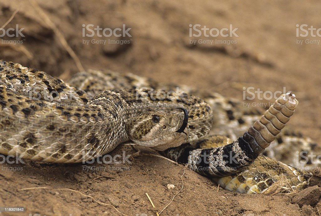 Coiled Diamondback Rattlesnake stock photo