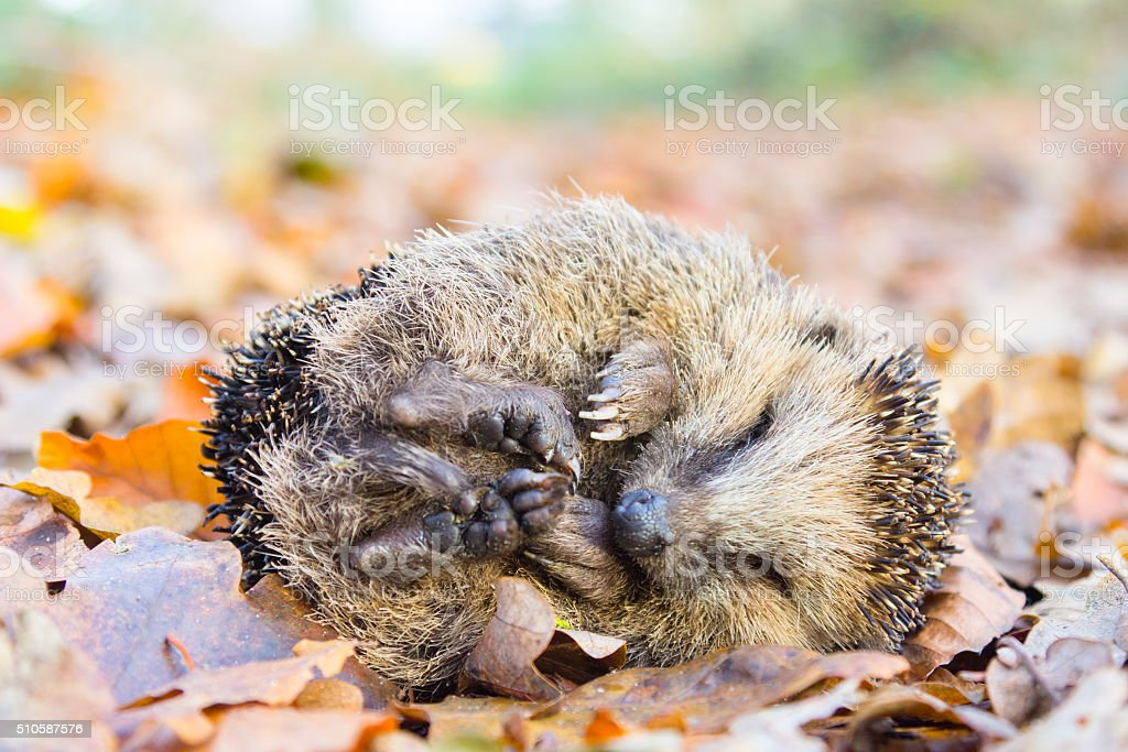Coiled hedgehog lying and sleeping on leaves in fall stock photo