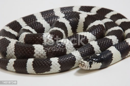 Black and white coiled king snake