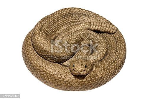 Coiled rattlesnake on white background.