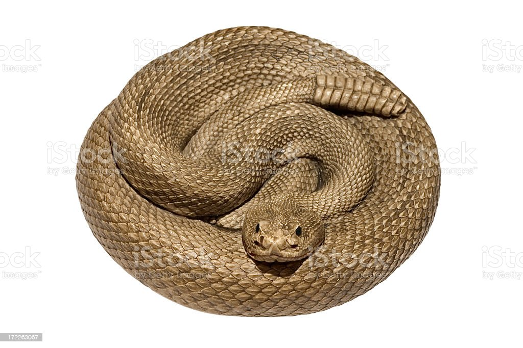 A coiled rattlesnake against a white background stock photo