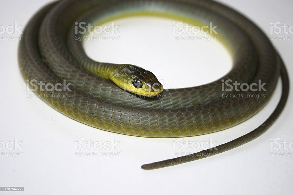 coiled snake, head down stock photo