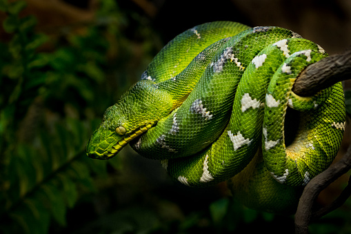 Close-up of a coiled Emerald tree boa on a branch in rainforest.