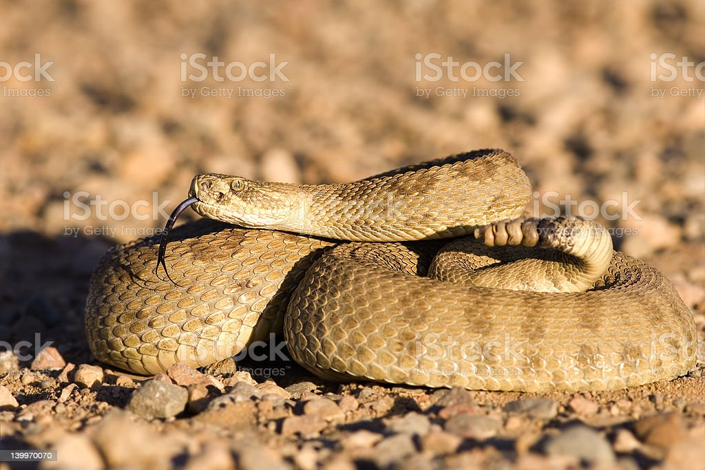 Coiled up rattlesnake stock photo