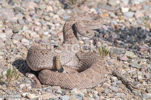 Western diamondback rattlesnake ready to strike in the Chiricahua Mountains, Arizona