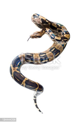 Boa in front of a white background. Hand made clipping path included