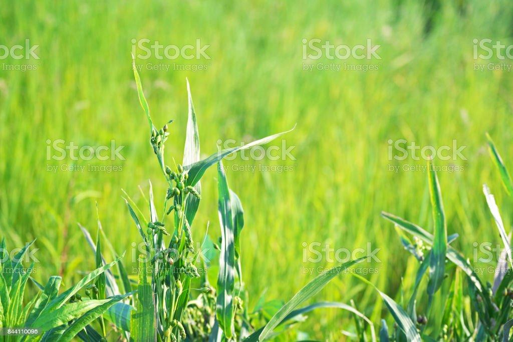 Coix lacryma-jobi stock photo