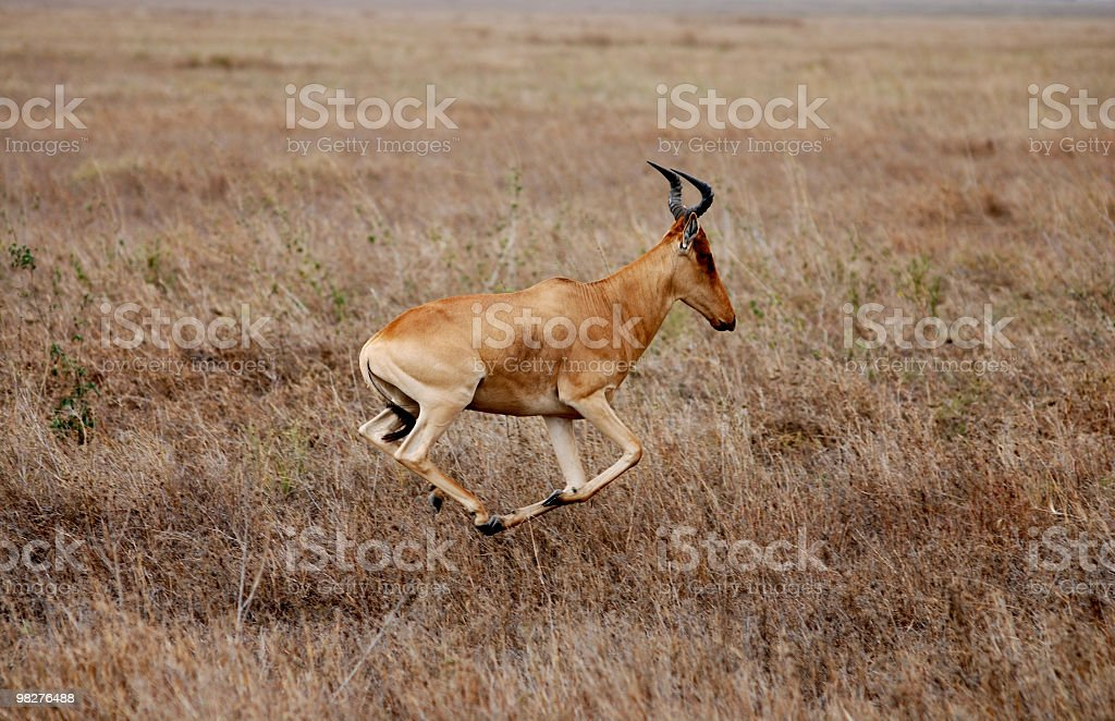 Cokes Hartebeest antelope running in full speed royalty-free stock photo