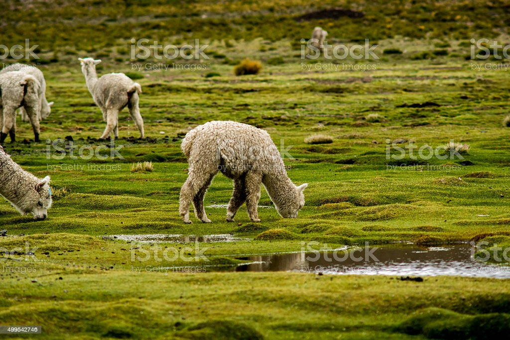 Colca Canyon: alpacas and llamas on a pasture stock photo