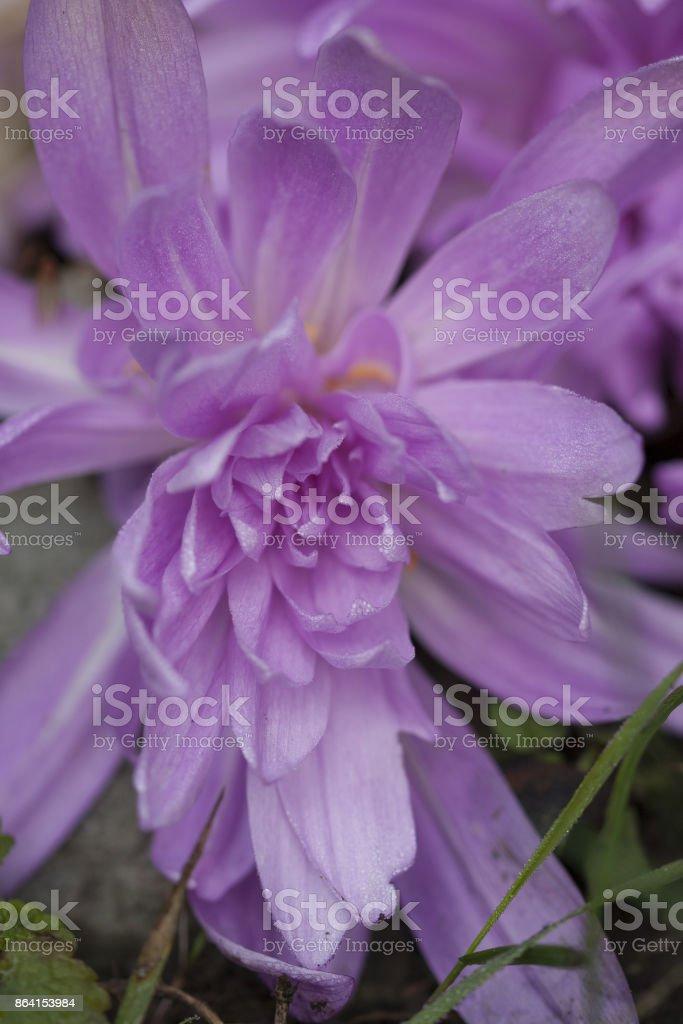 Colchicum autumnale, naken jomfru, tidløs royalty-free stock photo