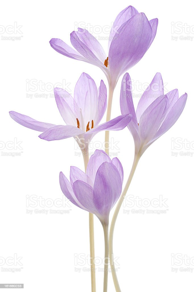 colchicum royalty-free stock photo