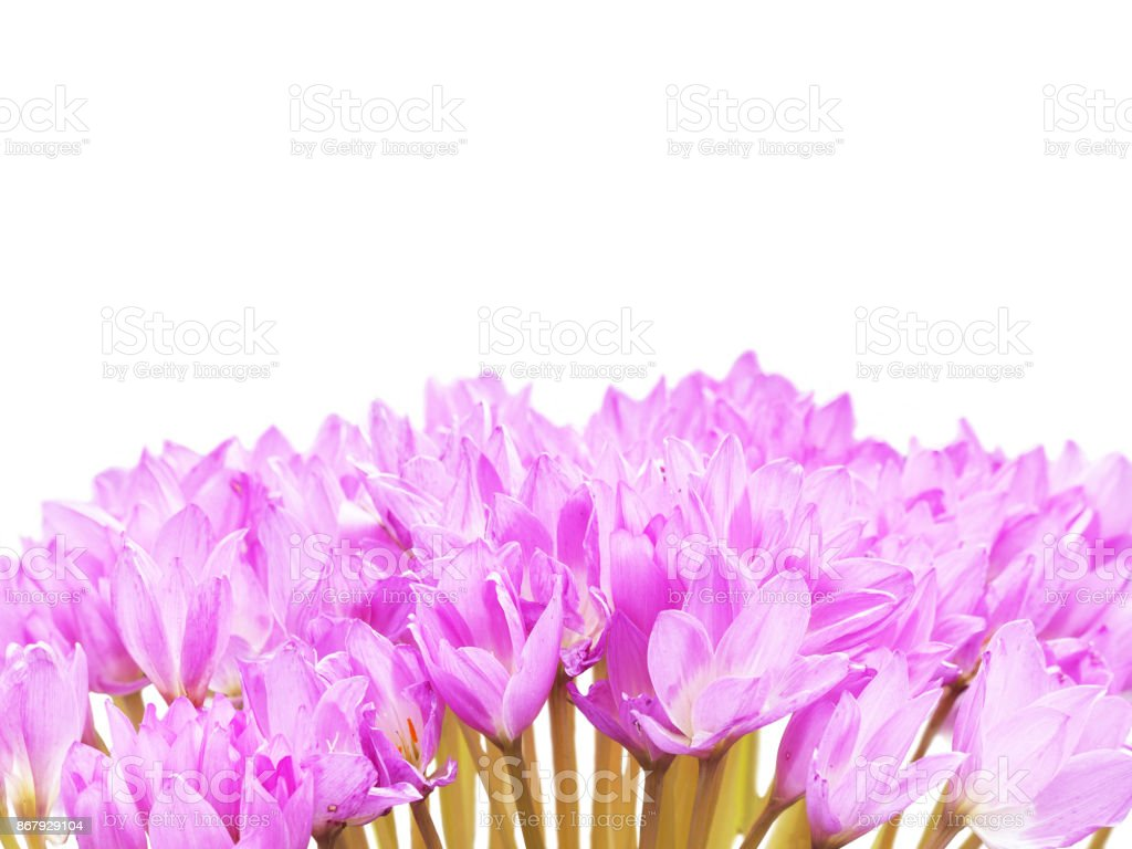 Colchicum Pink Flowers Isolated On White Family Colchicaceae Names