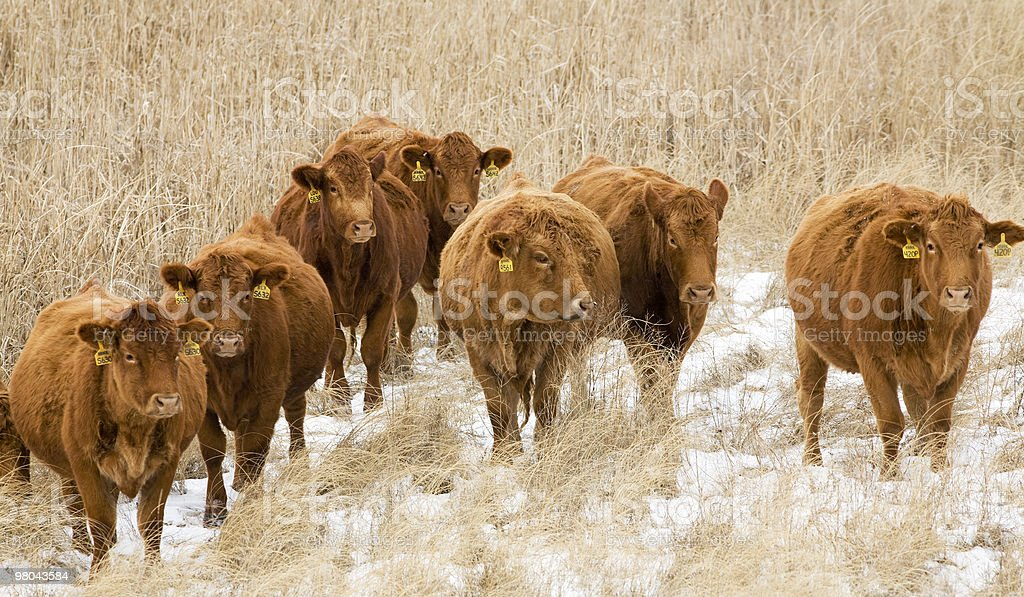 Cold Beef royalty-free stock photo