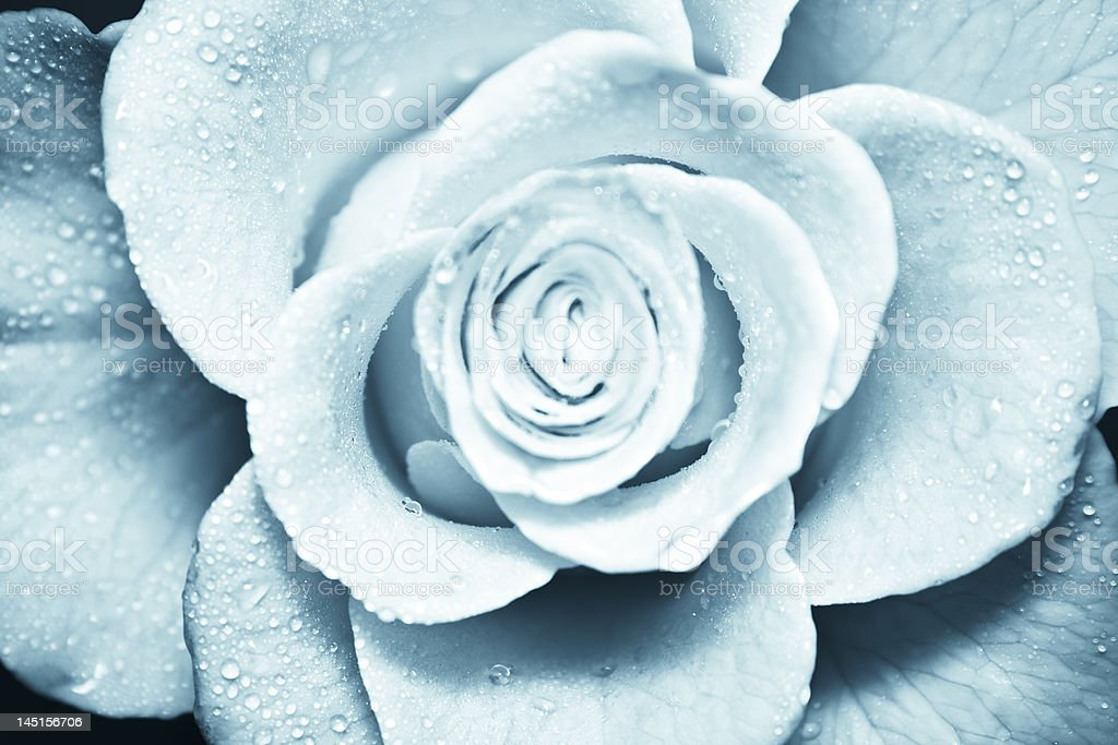 Cold blue rose stock photo