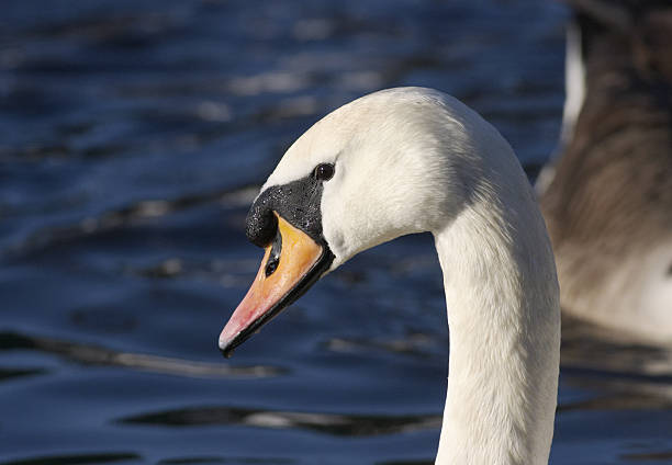 beautiful female mute swan cygnus olor - whiteway stock photos and pictures