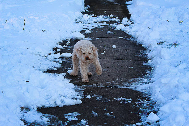 This little poodle tries to get through the snow without getting his paw too cold!