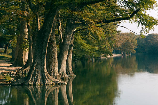 frio river 5 - cypress tree stock photos and pictures