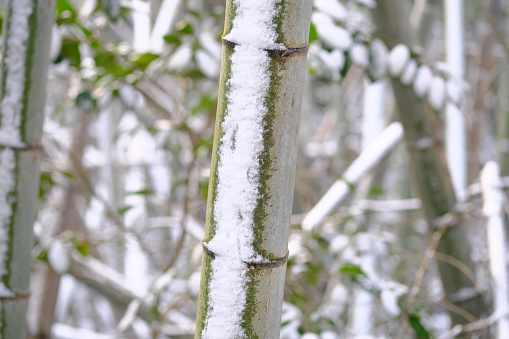 Cold snow left on bamboo