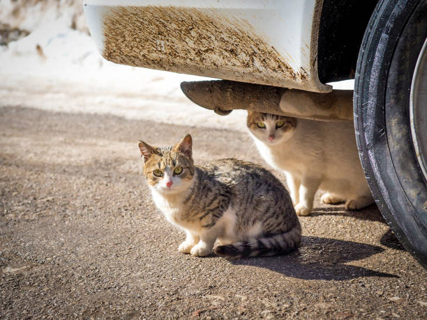 A cold winter day with snow two cats found shelter in the warmth under a car stock photo