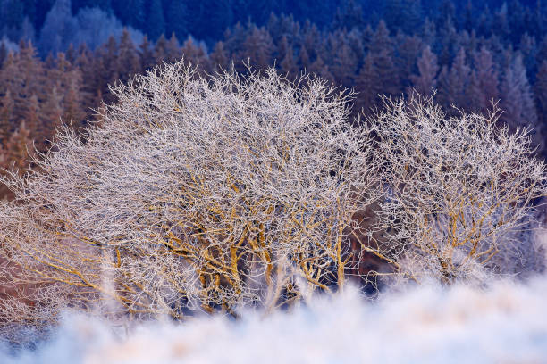 Cold winter with snow. Two solitary tree in winter, snowy landscape with snow and fog, white forest in the background.  Rime on the trees. Winter landscape from Sumava, Czech. stock photo