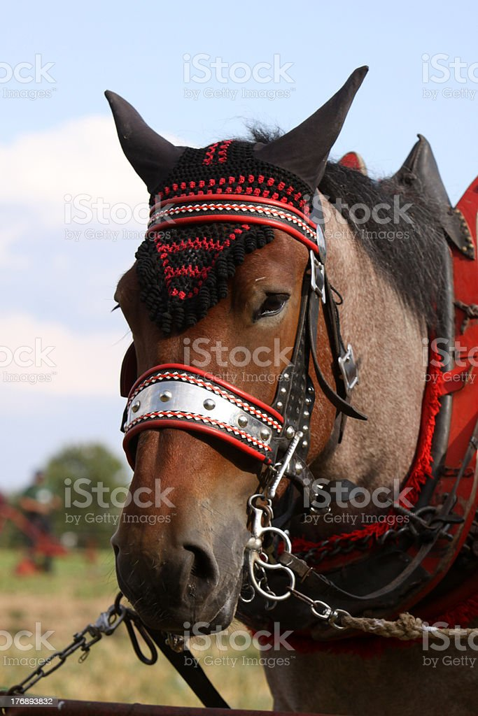 Cold-blooded horse stock photo