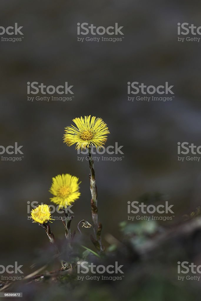 Coldsfoot-Tussilago Farfara foto stock royalty-free