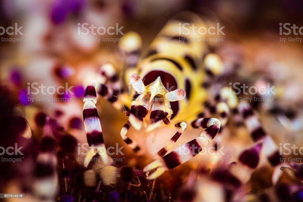 Coleman Shrimp (Periclimenes colemani) in Sea Urchin (Astropyga Radiata) stock photo