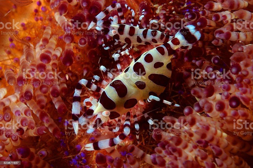 Coleman shrimp on fire urchin stock photo